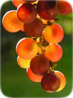 Photo of grapes - Copyright Anette Linnea Rasmussen