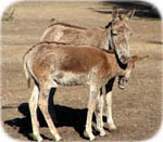 Photo of donkeys - Copyright maigi